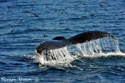 לוויתן גדול סנפיר ויסעורים