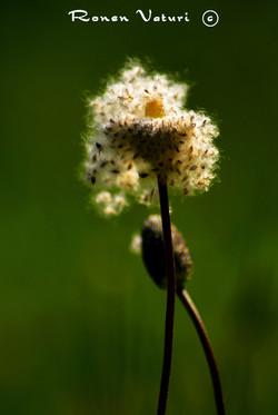 כלנית - הפצת זרעים