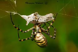 עכביש כסופי דק פסים נושך את טרפו