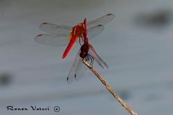 שפירת אדומה - זוג זכרים