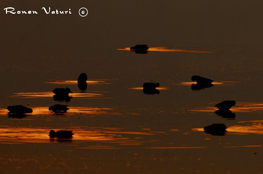 ברווזים בזריחה