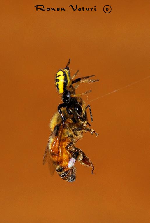 ארזית טורפת דבורת דבש
