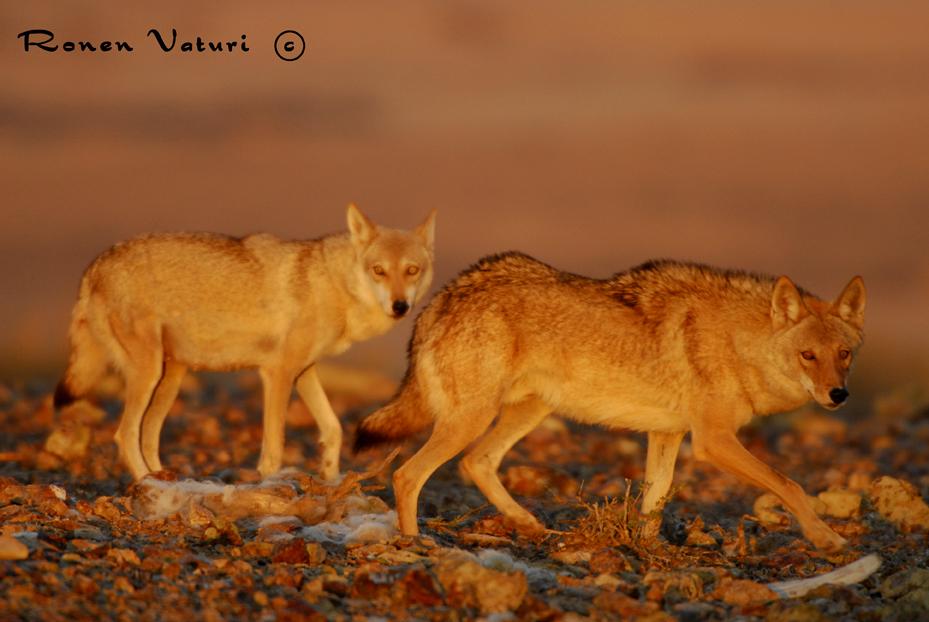 זאבים זכר ונקבה