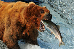 דוב גריזלי מפלי ברוקס, אלסקה