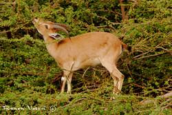 יעל נקבה אוכלת על עץ שיטה