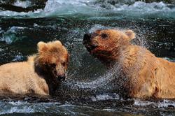 נקבה וגור גריזלי, מפלי ברוקס, אלסקה