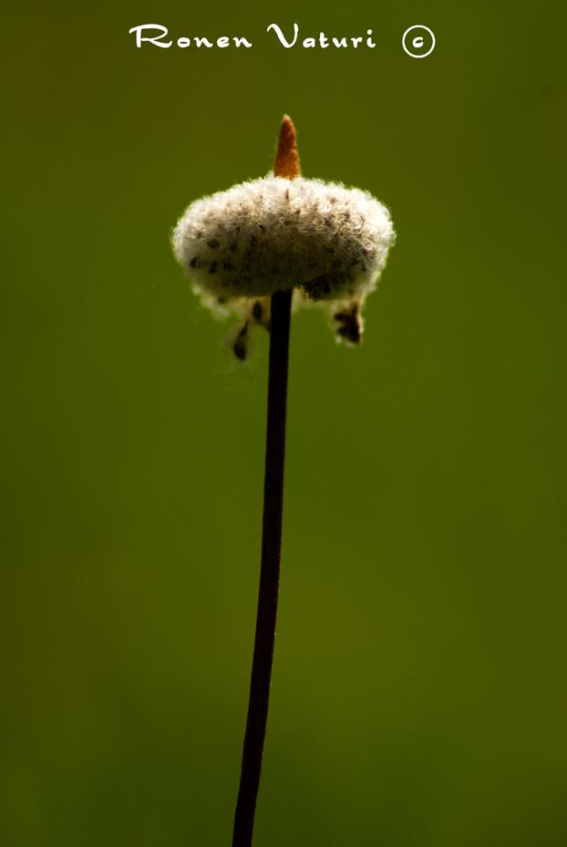 כלנית - זרעים