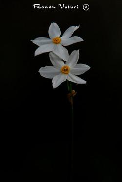 נרקיס אפיל - שחור לבן צהוב