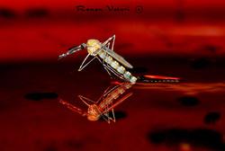 יתוש כולכית הבית - בקיעה מזחל