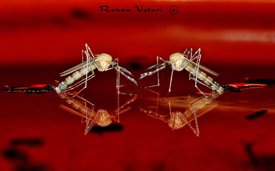יתוש כולכית הבית - פרטים לאחר בקיעה