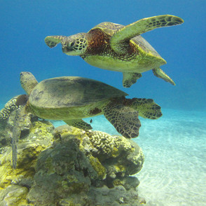Swim With Sea Turtles in Maui
