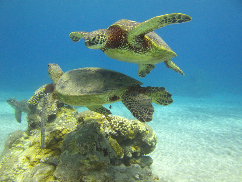 Swim With Sea Turtles in Maui
