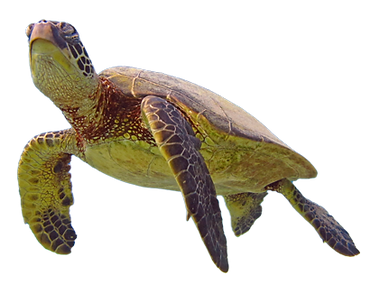 Swim-with-Turtles-Maui.png