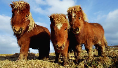 shetland-ponies.jpg