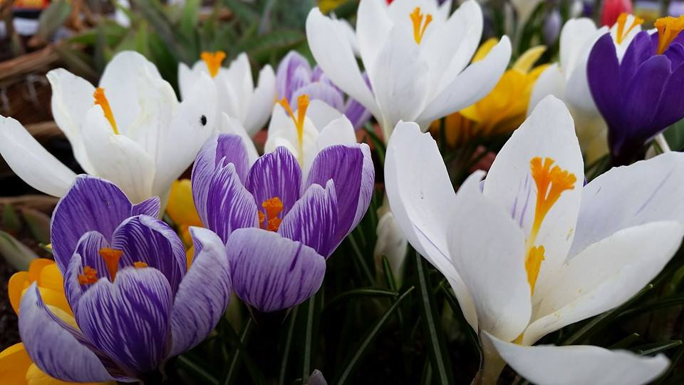 Purple and White Tulips Blooming