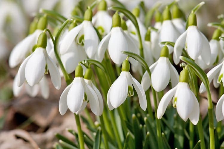 Close up of snowdrops