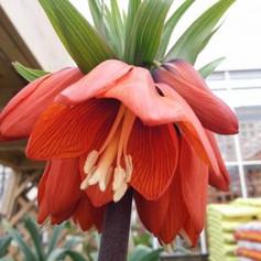 Red Drooping flower.jpg