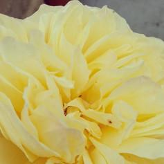 Soft yellow flower.jpg