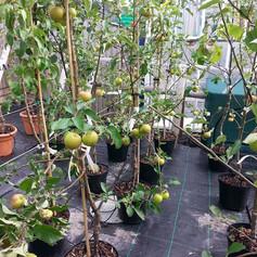 Fruit Trees on Sale.jpg