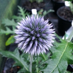 Close up of purple sphere headed flower.jpg