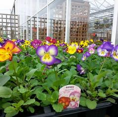Colourful pansies.jpg