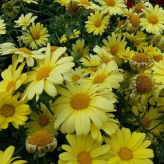 Lots of sunshine yellow flowers.jpg
