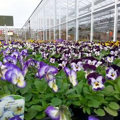 Lots of colourful violas.jpg