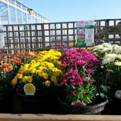 Brightly coloured flowers in pots.jpg