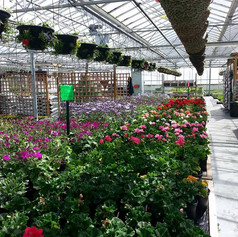 Inside the nursery with plants and hanging baskets.jpg