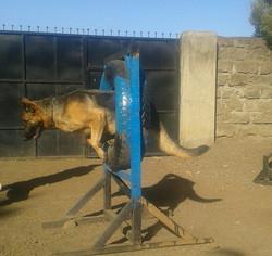 big dog jump