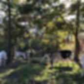pastured alpin daiy goats