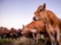 Jersey herd at dusk.jpg