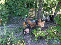 hens in the woods