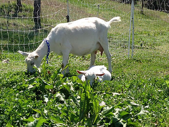 grazing doe and kid