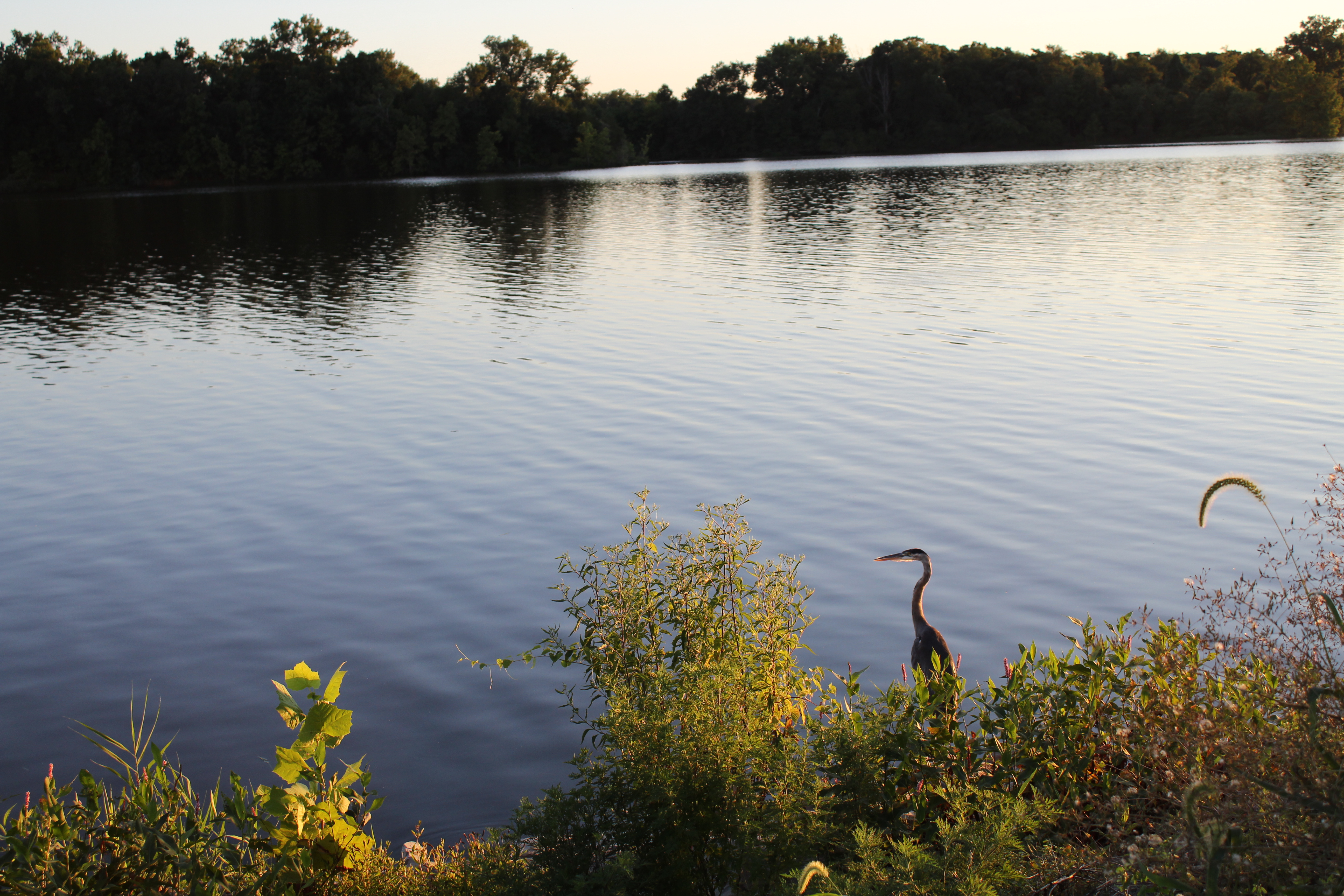 Crane at Crab Orchard Lake - August 5, 2020