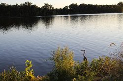 Crane at Crab Orchard Lake - August 5, 2020