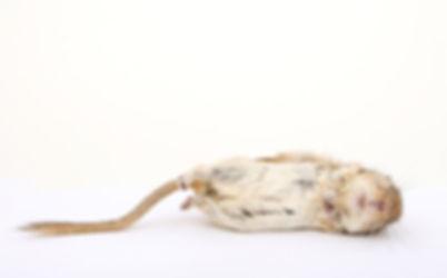 dead mouse sideways