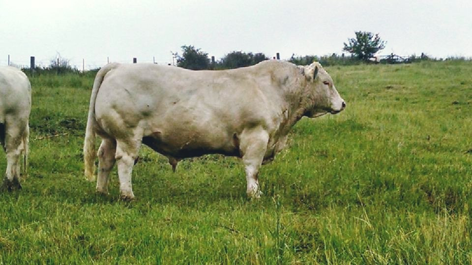 A great example of a terminal sire