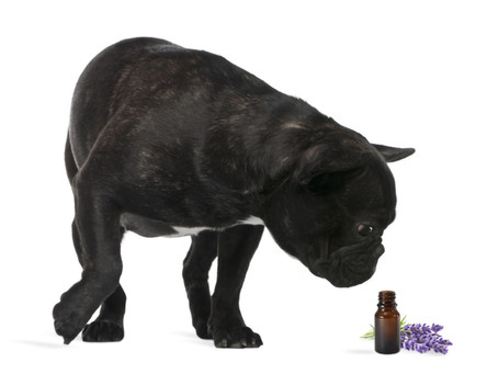 Aromaterapia para cães e gatos