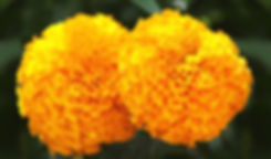 pattern_marigold_story_01.jpg