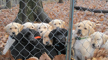 Service Dogs: 11 Reasons Puppy Raising is AWESOME.