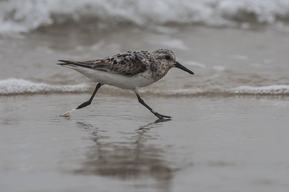 Sanderling - a shorebird - running along edge of beach