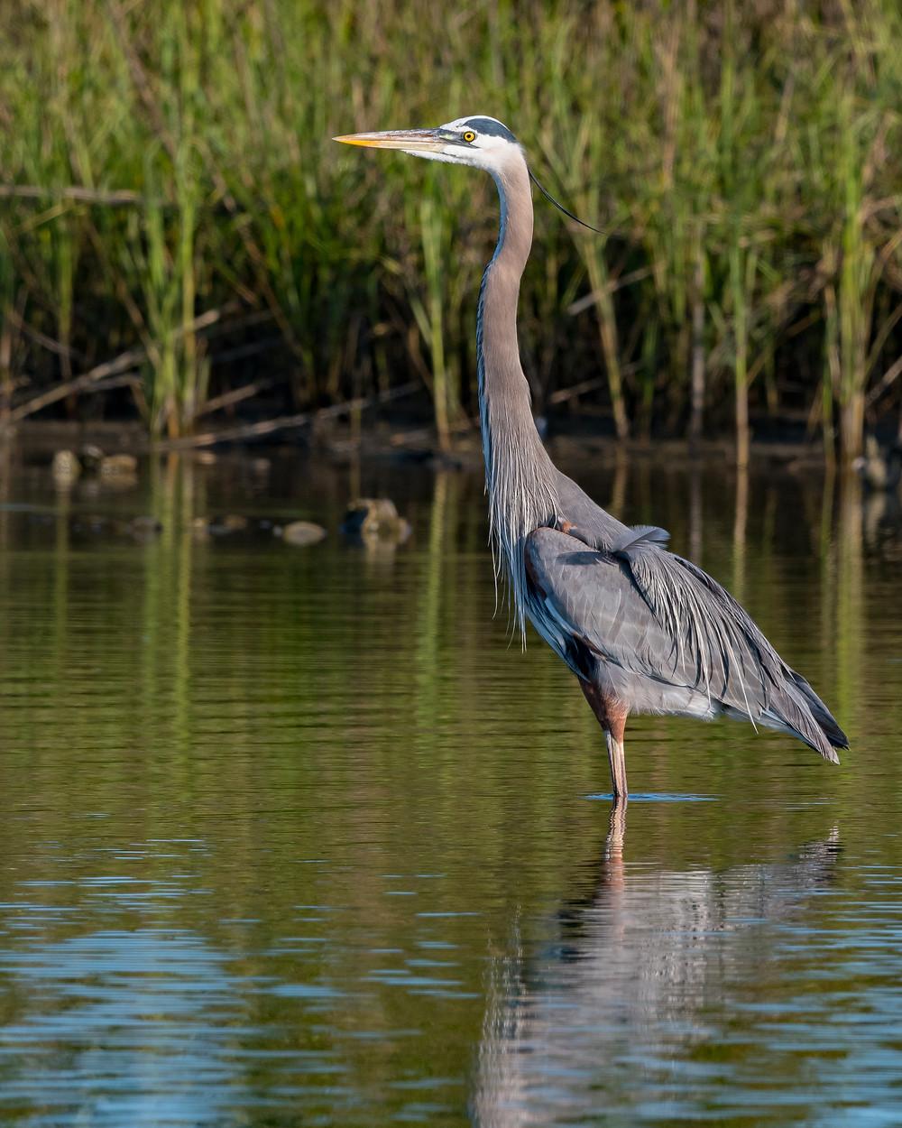 Great Blue Heron, Galveston, TX