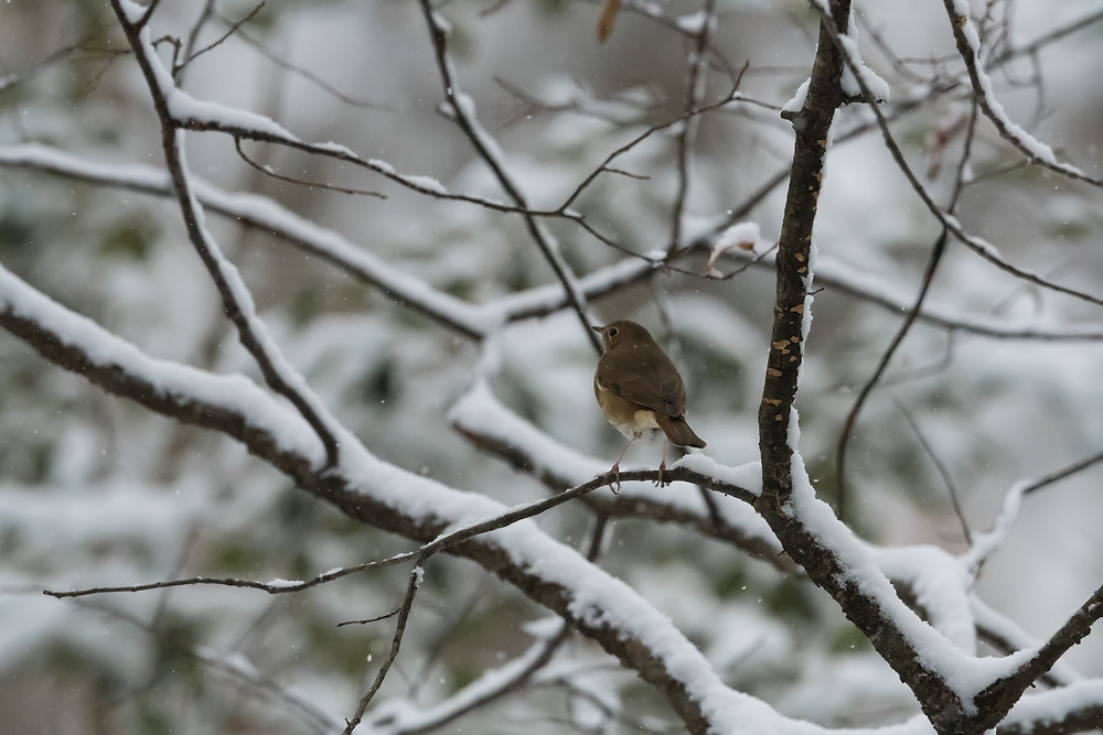 Hermit Thrush in snow