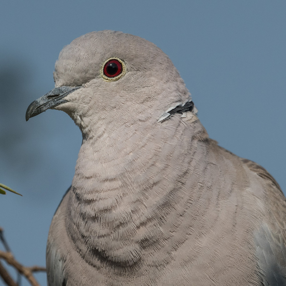 Eurasian Collared Dove, Raipur, India