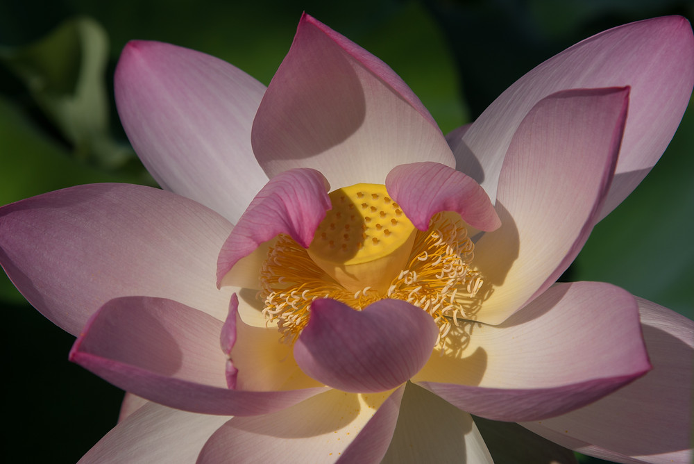 Lotus Flower, Kenilworth Gardens, Washington D.C.