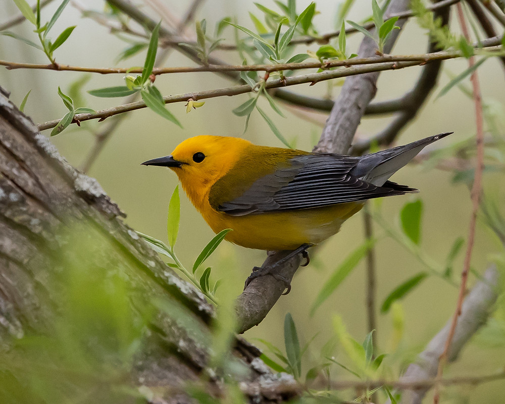 Prothonotary Warbler, Hughes Hollow, MD 5/5/18