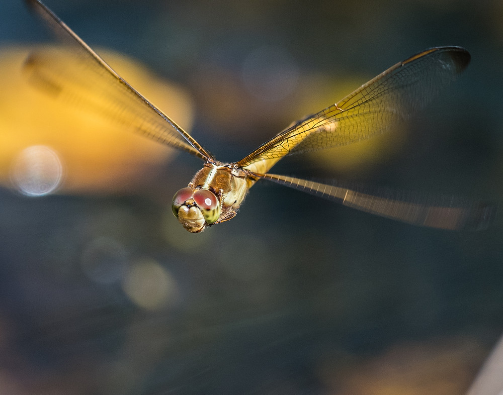 Dragonfly in flight, Kenilworth Aquatic Gardens, D.C.