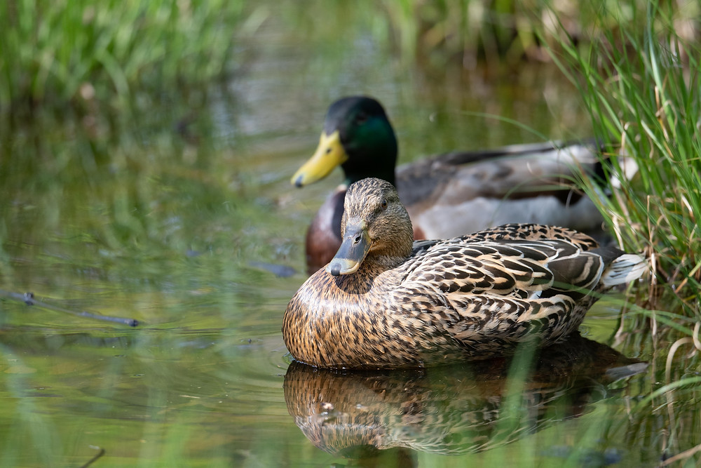 Mallard pair in still water surrounded by grasses.
