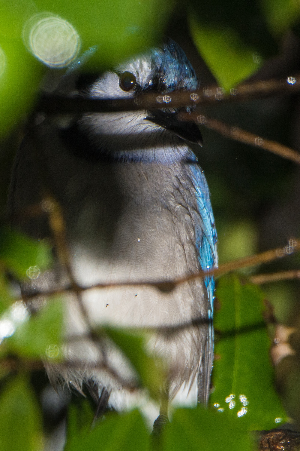 Blue Jay, wet, hiding amongst branches. Annapolis, MD